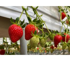[현장체험] 딸기수확체험